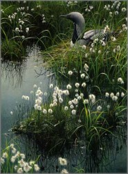 Arctic Loon and Cotton Grass