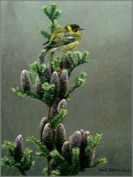 Cape May warbler and Balsam