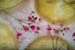 Lemon Wheels on Baby's Breath-web